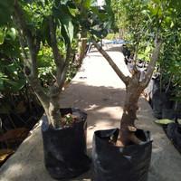 bibit tanaman buah plum bakal bonsai