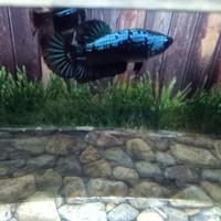 ikan cupang plakat avatar