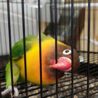 Jual Lovebird Dakocan Murah Harga Terbaru 2020