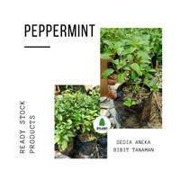 Bibit Tanaman Peppermint - Pohon Daun Rasa Mint - Herbal