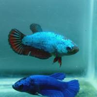 ikan cupang avatar anakan cupang avatar umur 1 bulan