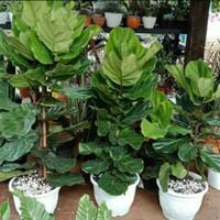 tanaman Ketapang biola cantik