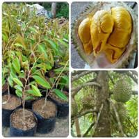 Bibit pohon durian Montong duren montong