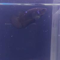 ikan cupang avatar gordon female