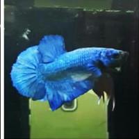 ikan cupang besgelan avatar