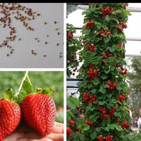 Benih Bibit Biji Strawberry Merah Besar Manis