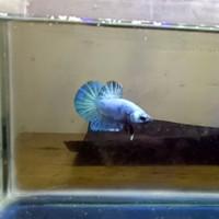 ikan cupang baby avatar line aurora