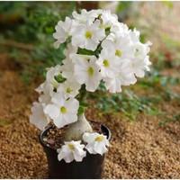 bibit tanaman adenium bunga putih bonggol besar bahan bonsai kamboja