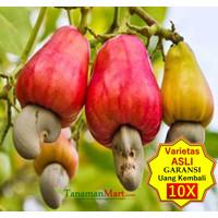bibit tanaman buah JAMBU MONYET/METE asli unggul murah bergaransi