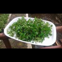 Spearmint hydrosol - hidrosol spearmint 500 ml
