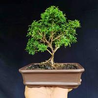 Bonsai Tanaman Pohon Kemuning Mikro Style Natural