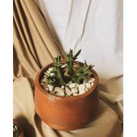 Succulent / Sukulen + Pot Terrcotta Kode C