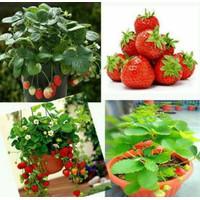 bibit strawberry jumbo Benih strawberry stoberi tumbuhan tanaman muda