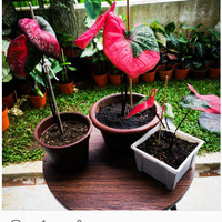 Caladium Army Look / Alocasia hilo beauty