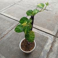 sirih gading tanaman rambat
