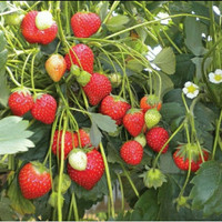 promo bibit buah strawberry jumbo