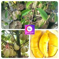 Paket 2 Bibit Durian Montong