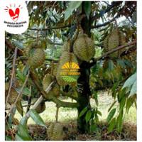 bibit durian montong super