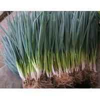 Isi 100 Benih Biji Bibit Sayuran Bawang Daun Fragrant