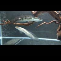 Jual Ikan Channa Yellow Sentarum Murah Harga Terbaru 2021