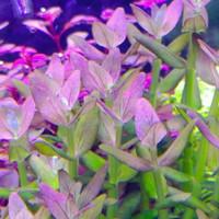 tanaman aquascape bacopa salzmannii