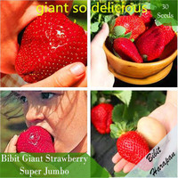 Benih Bibit Biji Giant Strawberry Stroberi Super Jumbo Import