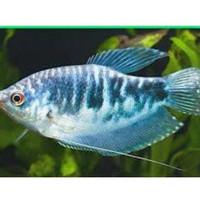 perlengkapan aquascape Ikan hias spat brazil