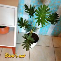 Philodendron hidup/ Tanaman hias hidup/ Monstera asli