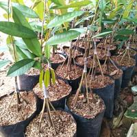 Paket 5 Bibit Durian Montong super