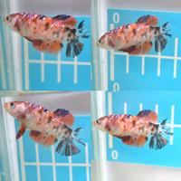 ikan cupang betta betina female nemo koi multicolour galaxy full egg