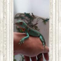 Kartu Ucapan Blue red iguana-Red Axanthic-GARANSI sehat dan No BS