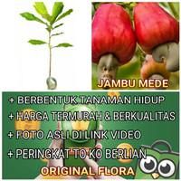 Bibit Jambu Mede Bibit Jambu Monyet Pohon Jambu Mede Original Flora