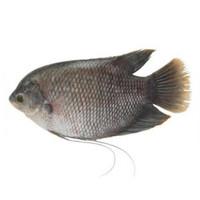SayurHD ikan segar gurame 500gr