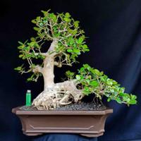 Bonsai Pohon Tanaman Beringin Stye Natural Prospek Kontes