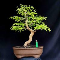 Bonsai Tanaman Hias Pohon Asam Jawa Style Informal Prospek Kontes