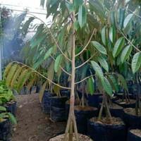Bibit Pohon Buah Durian musangking kaki 3 TINGGI 1,5-2 M