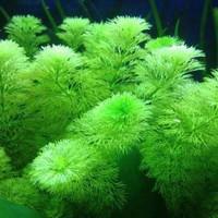 tanaman aquascape limnophila sessiliflora