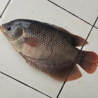 Ikan Gurame Segar Dibersihkan 500 gram