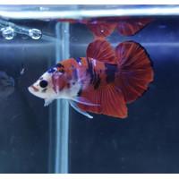Jual Ikan Cupang Plakat Di Bandung Harga Terbaru 2020