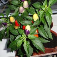 Benih pohon cabe bolivian rainbow/cabai warna warni + pot