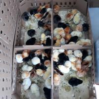 Bibit Joper | DOC Joper | Bibit Ayam | Ayam Kampung Super | DOC Ayam