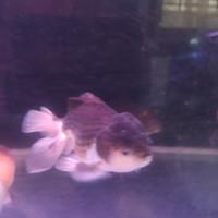 Ikan Hias Oranda Panda Jumbo XXL Aquarium Garansi