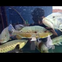 Ikan Hias Peacock Bass Pbass Brocopondo Aquarium Aquascape Garansi
