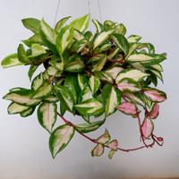 Hoya Carnosa Tricolor. Tanaman gantung cantik pajangan rumah