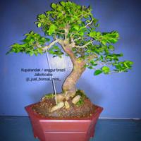 bonsai kupalandak / anggur brazil / jaboticaba 30cm