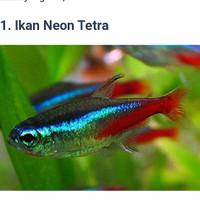 neon Tetra aquarium aquascape ikan hias