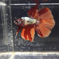 Jual Ikan Cupang Halfmoon Nemo Cooper Jakarta Barat Zey Bettafish 2 Tokopedia