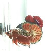 Jual Ikan Cupang Fccp Murah - Harga Terbaru 2020
