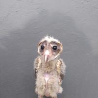 Jual Bay Owl Di Banten Harga Terbaru 2020