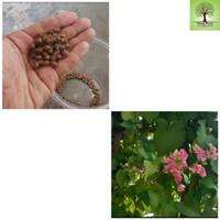 Benih bibit tanaman / bunga air mata pengantin